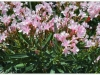 pink-flowers-258586_10150638124970174_723090173_19136956_5930354_o